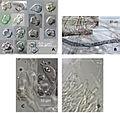 Boletopsis nothofagi microscopic details.jpg