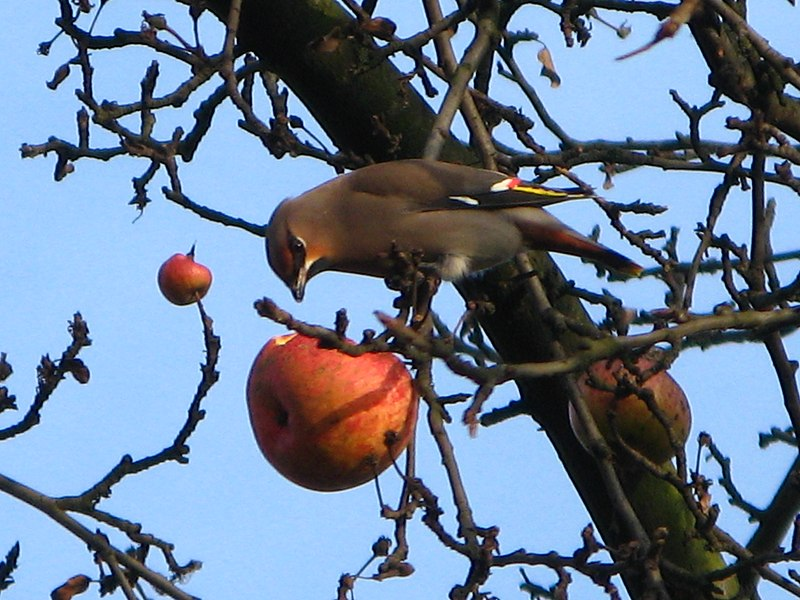 File:Bombycilla garrulus on apple.JPG