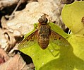 Bombyliidae. Beefly - Flickr - gailhampshire.jpg