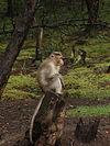 Bonnet Macaque Kodaikanal.jpg