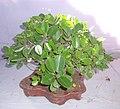 Bonsai of Chaina Bot 04.jpg
