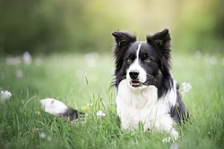 Border Collie de race.