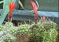 Borzicactus (Loxanthocereus) nanus.jpg
