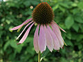 Botanická zahrada Brno, Echinacea purpurea.jpg