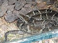 Bothrops leucurus - Jardim Zoológico de Brasília - DSC09980.JPG