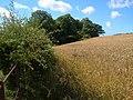 Bottomclose Plantation across field - geograph.org.uk - 211088.jpg