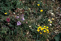 Box saxifrage, Jacobs ladder, lousewort (5945302564).jpg