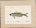 Box vulgaris - 1700-1880 - Print - Iconographia Zoologica - Special Collections University of Amsterdam - UBA01 IZ13100007.tif
