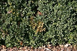Boxwood with Volutella buxi 01.JPG