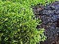 Brachythecium rutabulum 106788429.jpg