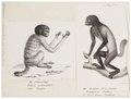 Brachyurus melanocephalus - 1700-1880 - Print - Iconographia Zoologica - Special Collections University of Amsterdam - UBA01 IZ20200251.tif