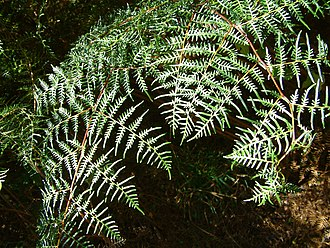 Pteridium esculentum - Bracken fronds in New Zealand
