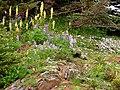 Bracted lousewort, lupine and phlox. (c631c1e27d024c6582870a9b27adf948).JPG