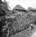 Brajda pri hiši, Straža 1961.jpg