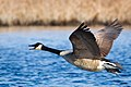 Branta canadensis -near Oceanville, New Jersey, USA -flying-8.jpg