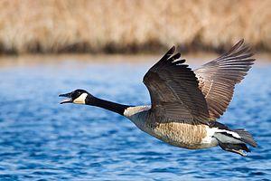 Maniraptora - Canada goose flying