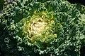 Brassica oleracea var. acephala Nagoya White 1zz.jpg