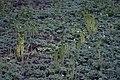 Bregner av ormegras ved Olterudelva.jpg