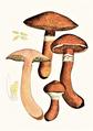 Bresadola - Boletus tridentinus.png