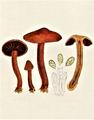 Bresadola - Cortinarius cinnabarinus.png