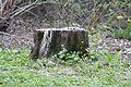Brilon, Kurpark, abgestorbener Baumstumpf, von Moos überwuchert..JPG