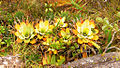 Bromelia brocchinia tatei.jpg