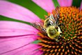 Brown-belted Bumblebee (Bombus griseocollis) (19674795733).jpg
