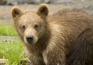 Brown Bear Cubs 2.jpg