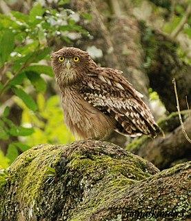 Brown fish owl Species of owl
