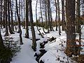 Buchenwald im Nationalpark Bayerischer Wald.jpg