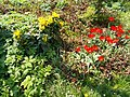 Buda Arboreta. Lower Garden. Yellow and red (Echinacea). - Budapest.JPG