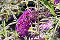Buddleja davidii Royal Red 0zz.jpg