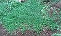 Buffalo grass Melagram Tenkasi Tamilnadu Tamil nation 3.jpg