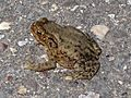 Bufo bufo (Common toad), Arnhem, the Netherlands.jpg
