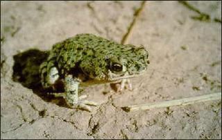 <i>Anaxyrus debilis</i> species of amphibian