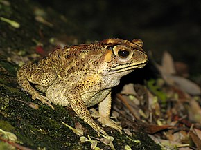 Description de l'image Bufo melanosticus 01.JPG.