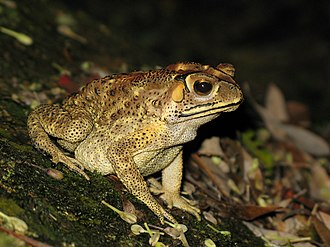 Duttaphrynus melanostictus - Image: Bufo melanosticus 01