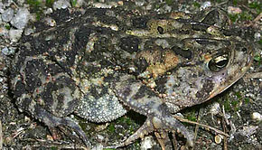 Description de l'image Bufo terrestris1.jpg.