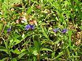 Buglossoides purpurocaerulea 03.JPG