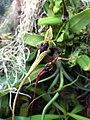 Bulbophyllum Pudidum (65946835).jpeg