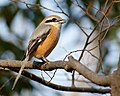Bull-headed shrike in Sakai, Osaka, February 2016.jpg