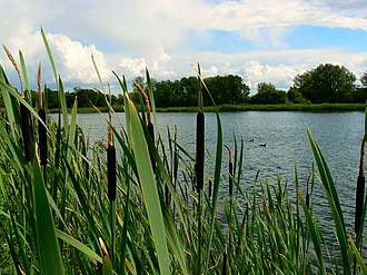Cotswold Water Park - Bulrushes and coots on one of the lakes