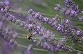 Bumblebee landing on lavender (35857084896).jpg