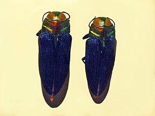 <i>Belionota</i> genus of insects