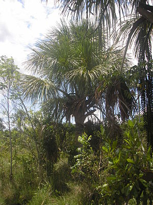 Southwest Amazon moist forests - Mauritia flexuosa, or moriche palm, is an economically important species dominant in some parts of the ecoregion.