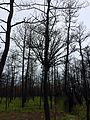 Burnt Witch's Broom Pitch Pine.jpg
