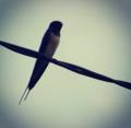 Burung layang-layang.png
