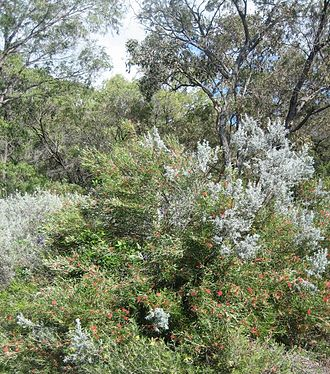 Sclerophyll - Bush around Eagle Bay, Western Australia