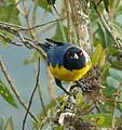 Buthraupis montana (Azulejo real) (16369780556).jpg