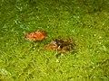 CA red-legged froglet (33420329232).jpg